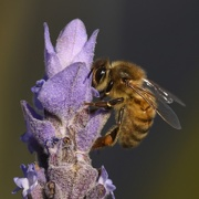23rd Jun 2018 - I'm Glad There Were Bees In My Lavender_DSC0917