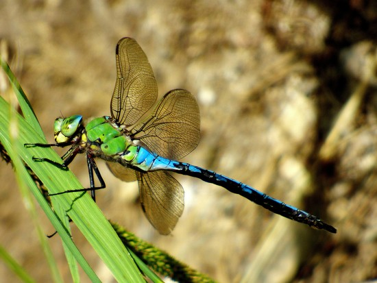 Emperor Dragonfly by julienne1
