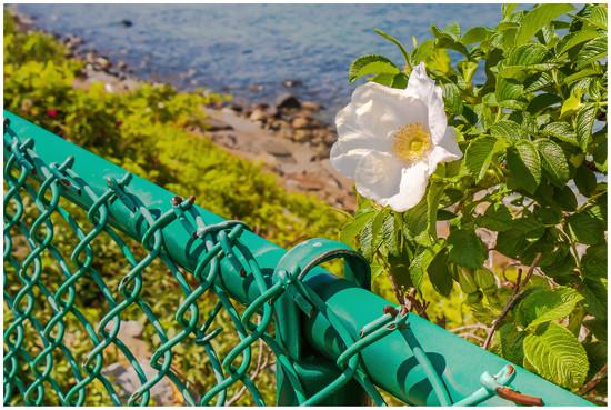 beach rose by jernst1779