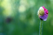 24th Jun 2018 - Budding Flower