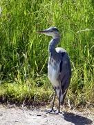 23rd Jun 2018 - Heron by the Bridgewater Canal