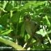 Baby chaffinch