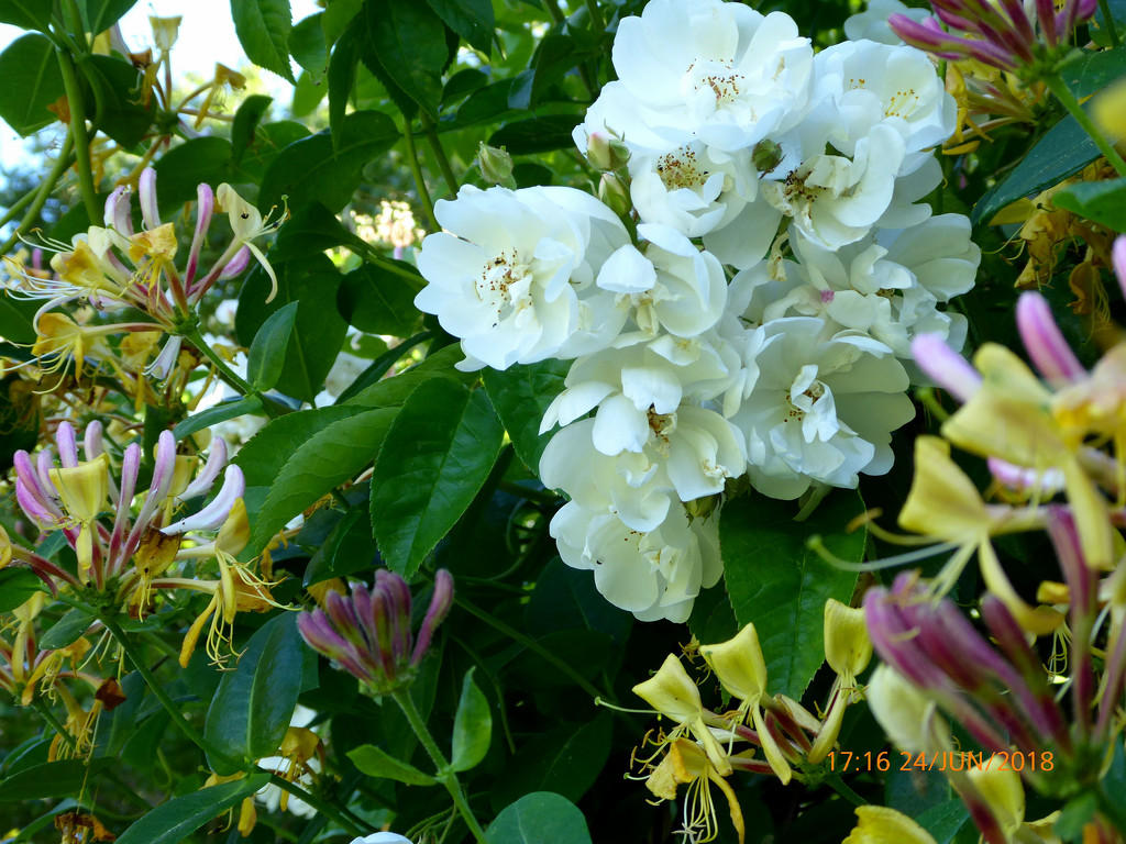 Honeysuckle and roses.... by snowy