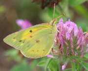 24th Jun 2018 - Orange Sulphur Butterfly
