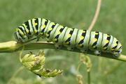 24th Jun 2018 - Black Swallowtail Caterpillar