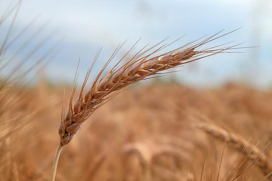Wheat by spectrum