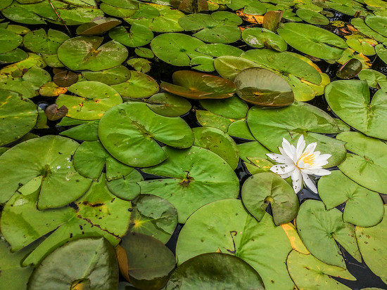 Water Lily  by houser934