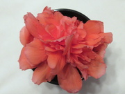 24th Jun 2018 - Begonia blossom in a water dish