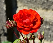 25th Jun 2018 - Red Rose