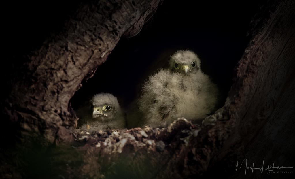 Kestrel chicks.. by markyl