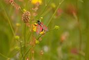25th Jun 2018 - Pretty Burnet moth..........
