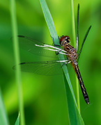 25th Jun 2018 - black pondhawk Dragonfly sideview