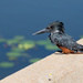 Giant Kingfisher by leonbuys83