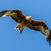 Red Kite by rjb71