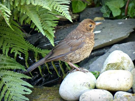 Baby blackbird by judithdeacon