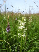 23rd Jun 2018 - Greater butterfly orchids