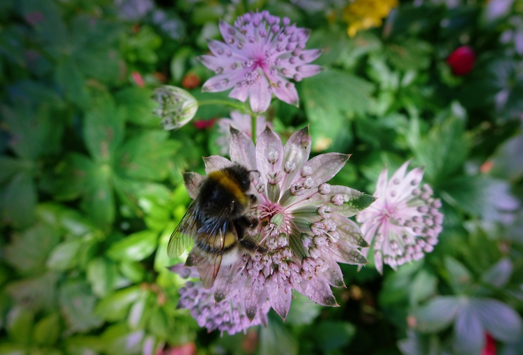bumblebee by gijsje