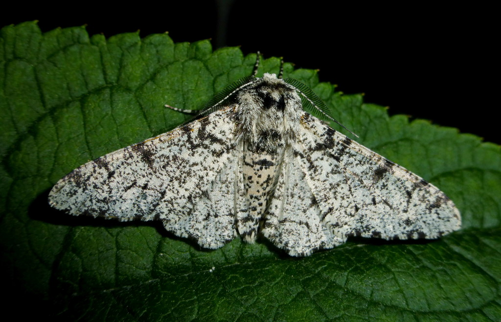 Peppered Moth by jesika2