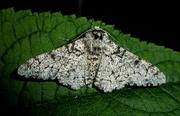 13th Jun 2018 - Peppered Moth
