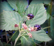 24th Jun 2018 - I've got two tiny berries!