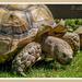 Giant Tortoise by carolmw