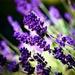 The Colour Purple by carole_sandford