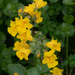Monkey Flower by lifeat60degrees