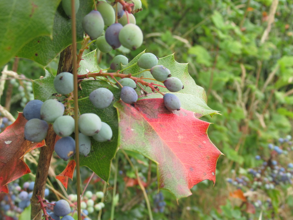 Blue Berries, Red Leaf by granagringa