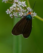 26th Jun 2018 - Virginia ctenucha Moth