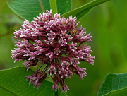 26th Jun 2018 - milkweed