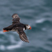 Puffin flypast by inthecloud5