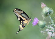 26th Jun 2018 - Swallowtail