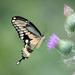 Swallowtail  by jnorthington