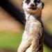 Meerkat Magic by pusspup