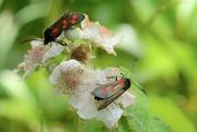 27th Jun 2018 - Two daytime moths....