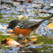 Male Spotted Towhee by seattlite