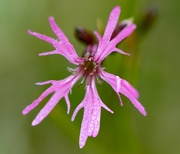 27th Jun 2018 - Ragged Robin