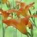 Daylilies by lynnz