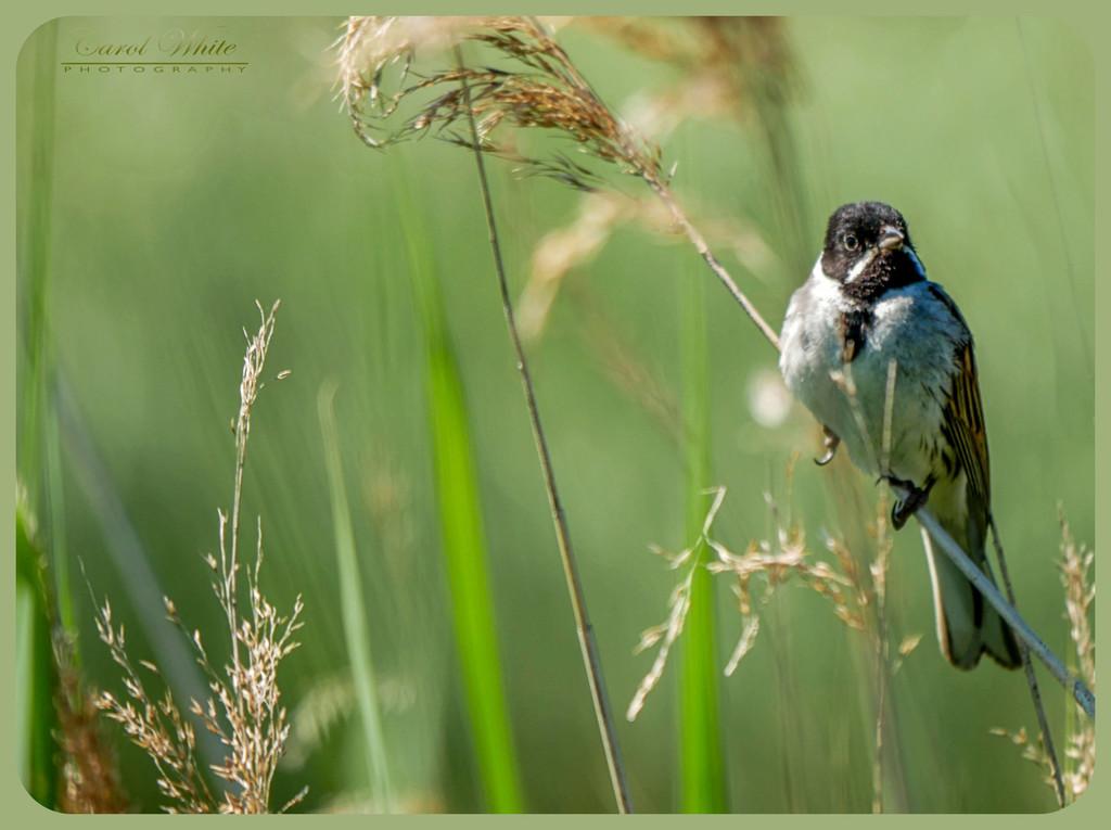 Reed Bunting by carolmw