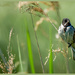 Reed Bunting by carolmw
