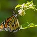 Monarch Butterfly! by rickster549