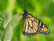 28th Jun 2018 - Monarch butterfly