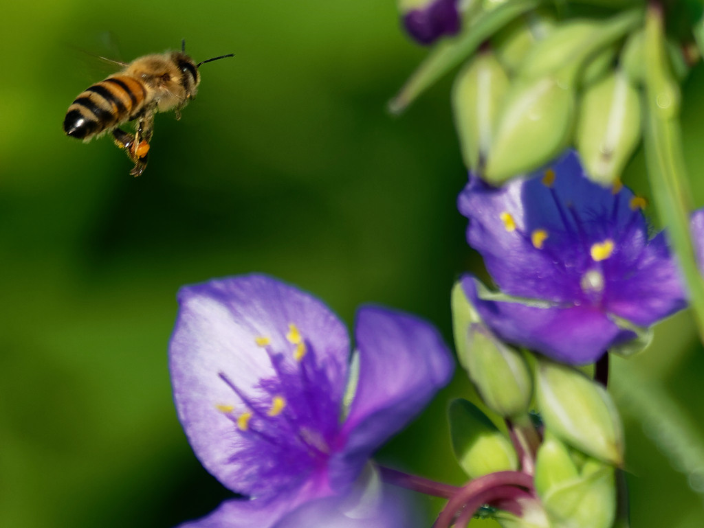 Bee flying to spiderwort by rminer