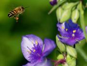 28th Jun 2018 - Bee flying to spiderwort