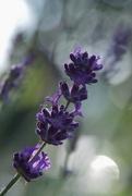 28th Jun 2018 - Pruned Lavender