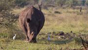 28th Jun 2018 - White Rhino