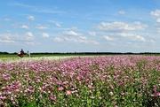 29th Jun 2018 - flower field