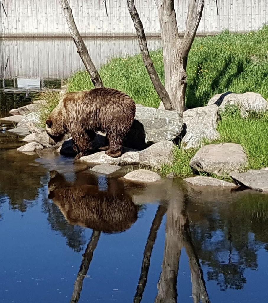 Brown Bear by Dawn