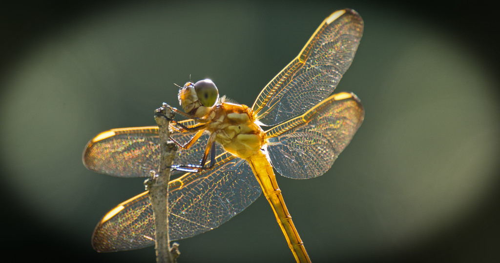 Dragonfly in the Sunshine! by rickster549
