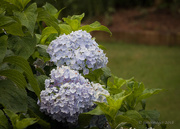 28th Jun 2018 - Lovely Hydrangeas